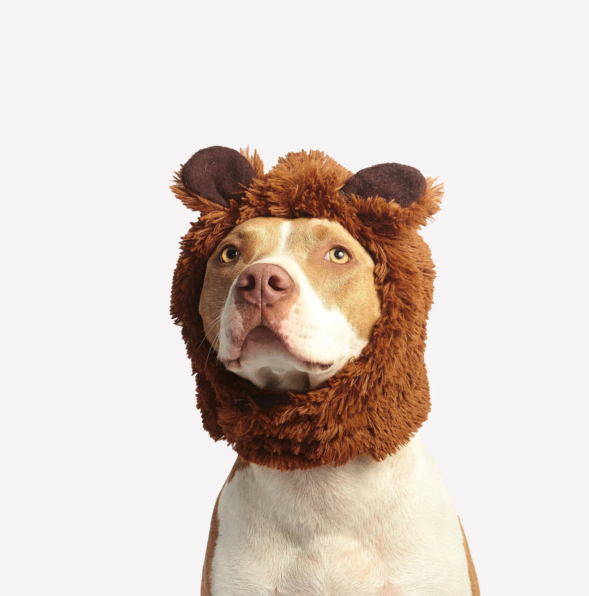 Canva-Brown-and-White-American-Pit-Bull-Terrier-With-Brown-Costume (1)